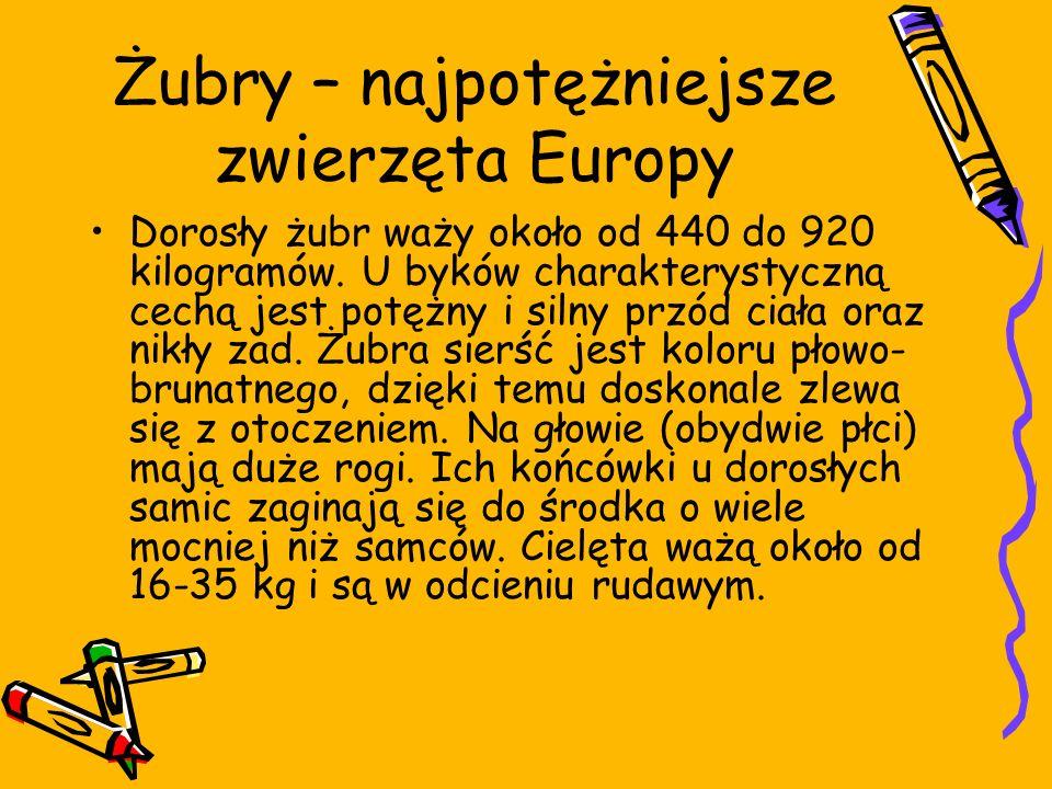 Żubry – najpotężniejsze zwierzęta Europy