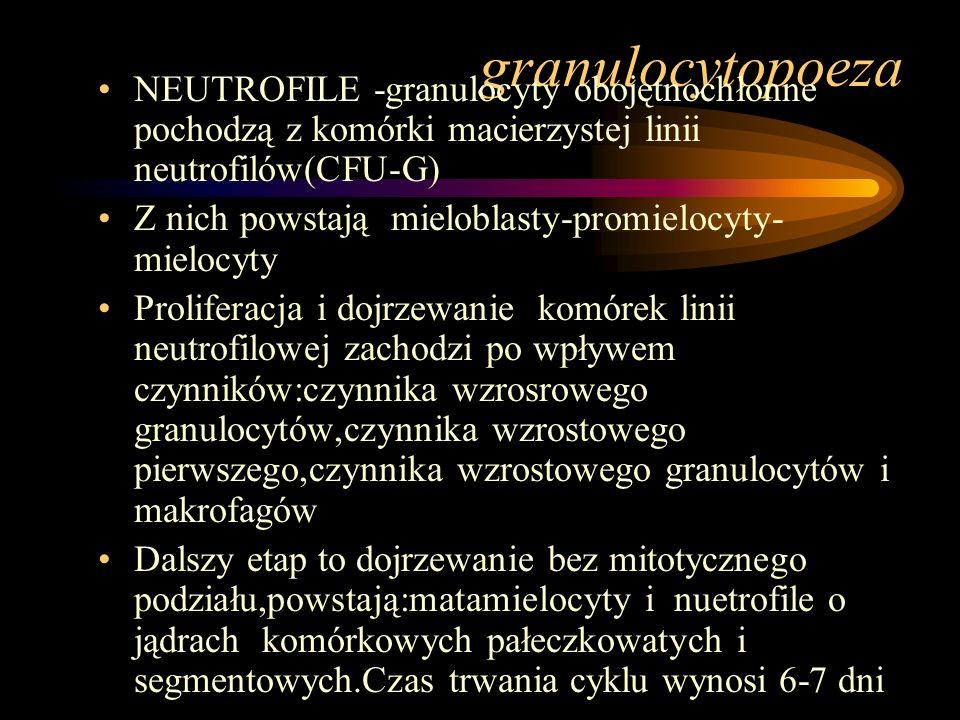 granulocytopoeza NEUTROFILE -granulocyty obojętnochłonne pochodzą z komórki macierzystej linii neutrofilów(CFU-G)