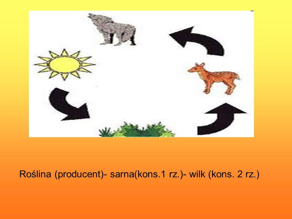 Roślina (producent)- sarna(kons.1 rz.)- wilk (kons. 2 rz.)