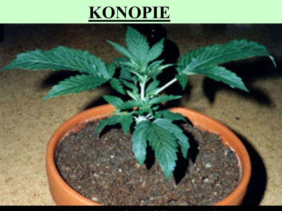 KONOPIE Z niektórych odmian konopii (Cannabis sativa L. konopie indyjskie) otrzymuje się produkty zawierające substancje psychoaktywne.