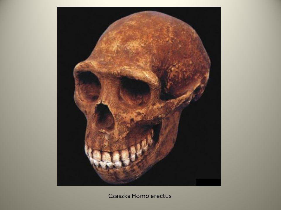 Czaszka Homo erectus