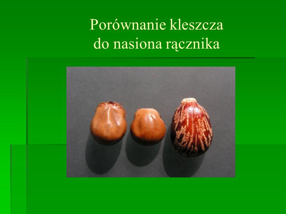Porównanie kleszcza do nasiona rącznika
