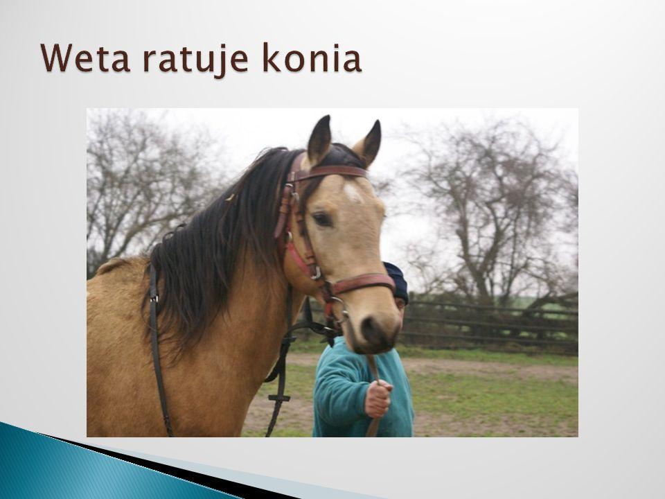 Weta ratuje konia