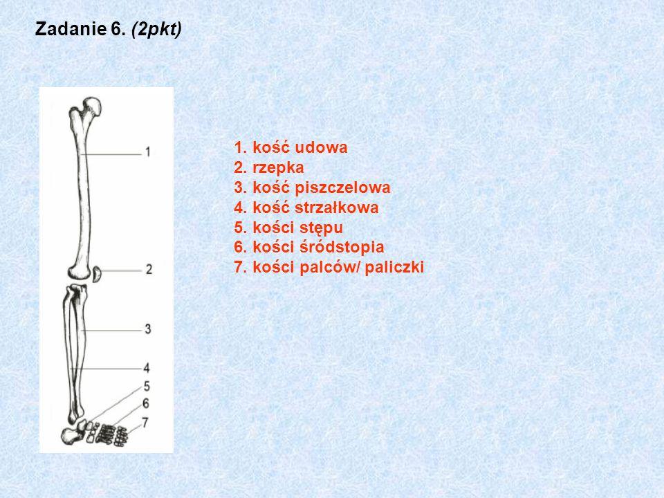 Zadanie 6. (2pkt) 1. kość udowa 2. rzepka 3. kość piszczelowa