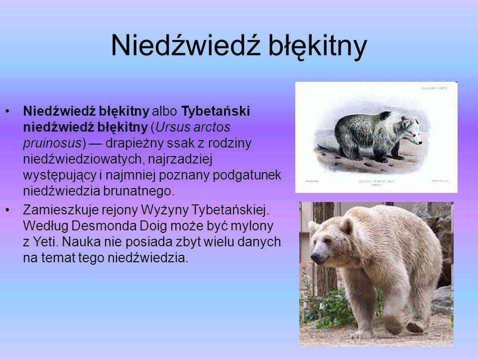 Niedźwiedź błękitny