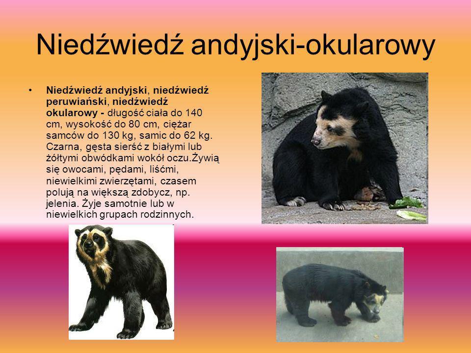 Niedźwiedź andyjski-okularowy
