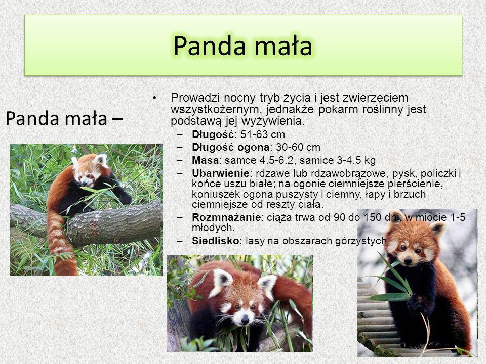 Panda mała Prowadzi nocny tryb życia i jest zwierzęciem wszystkożernym, jednakże pokarm roślinny jest podstawą jej wyżywienia.