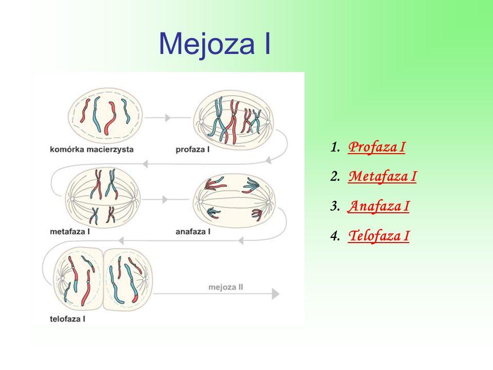 Mejoza I Profaza I Metafaza I Anafaza I Telofaza I