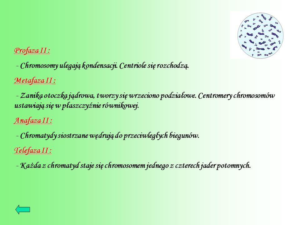 Profaza II : - Chromosomy ulegają kondensacji. Centriole się rozchodzą. Metafaza II :