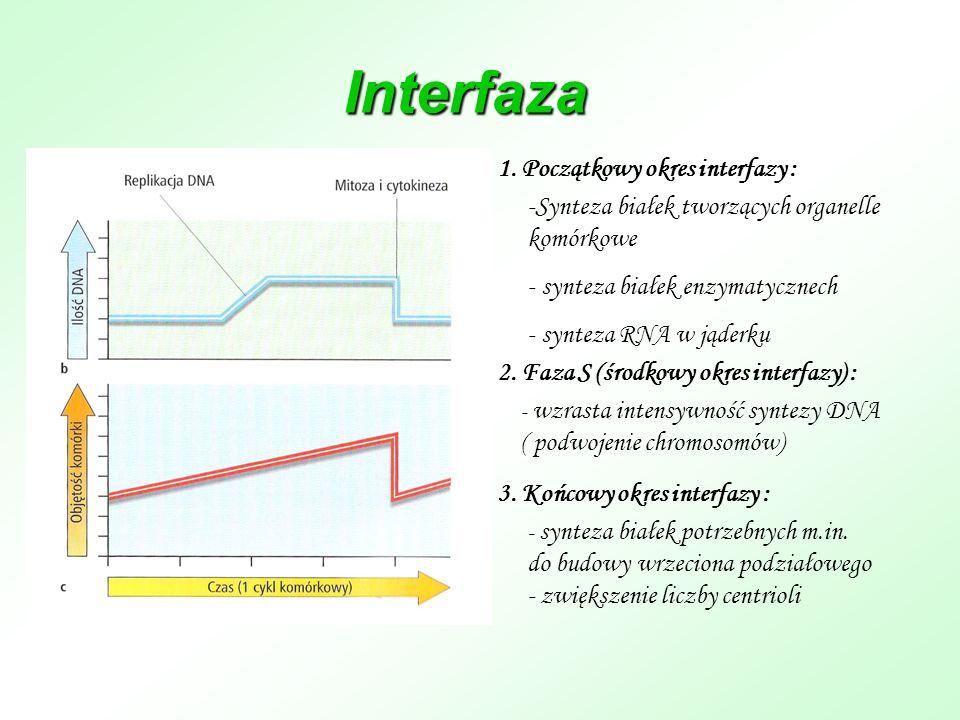Interfaza 1. Początkowy okres interfazy :