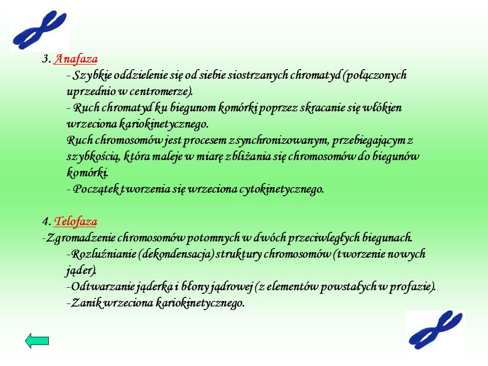 3. Anafaza - Szybkie oddzielenie się od siebie siostrzanych chromatyd (połączonych uprzednio w centromerze).