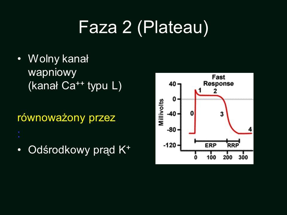 Faza 2 (Plateau) Wolny kanał wapniowy (kanał Ca++ typu L)