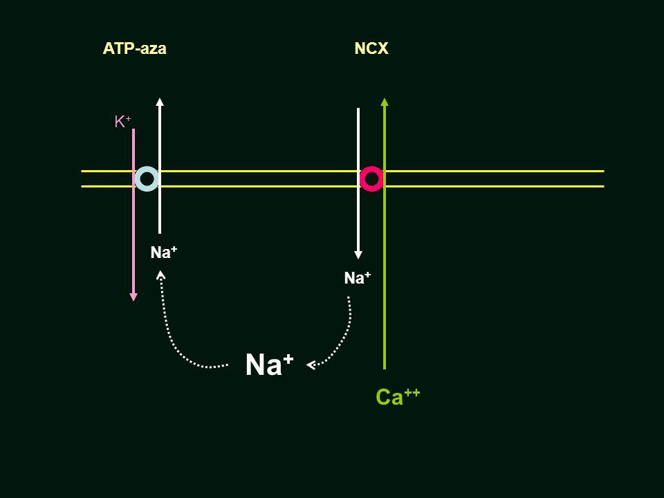 ATP-aza NCX K+ Na+ Na+ Na+ Ca++