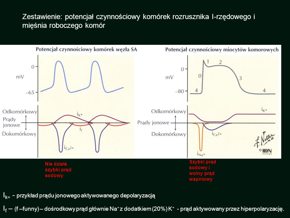Ik+ - przykład prądu jonowego aktywowanego depolaryzacją