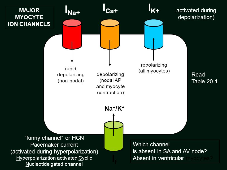 ICa+ IK+ INa+ If Na+/K+ MAJOR MYOCYTE ION CHANNELS (activated during