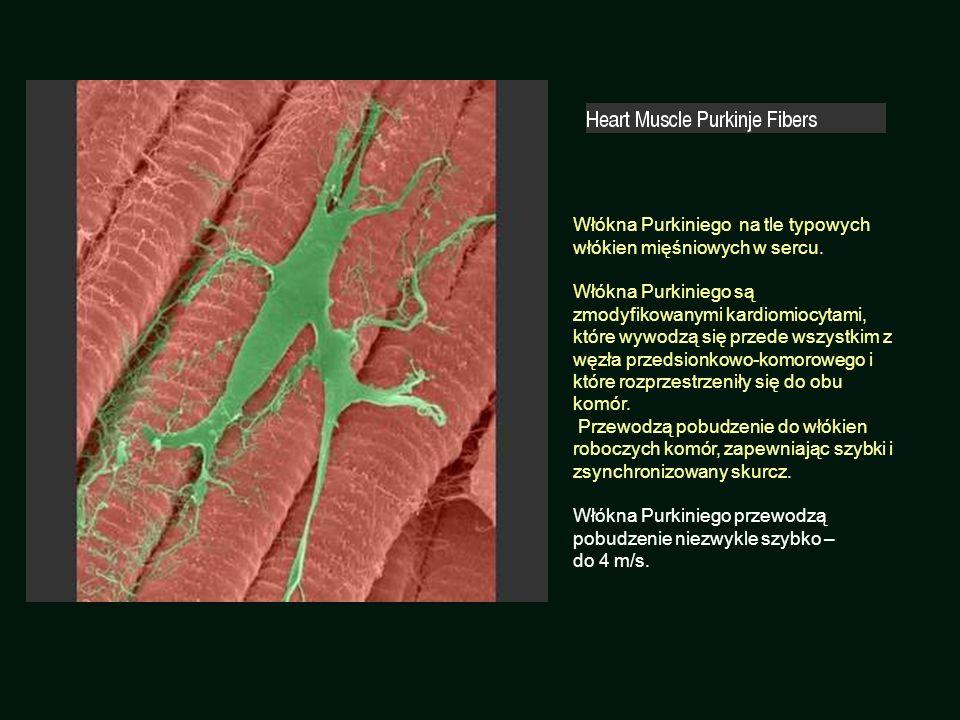 Włókna Purkiniego na tle typowych włókien mięśniowych w sercu.