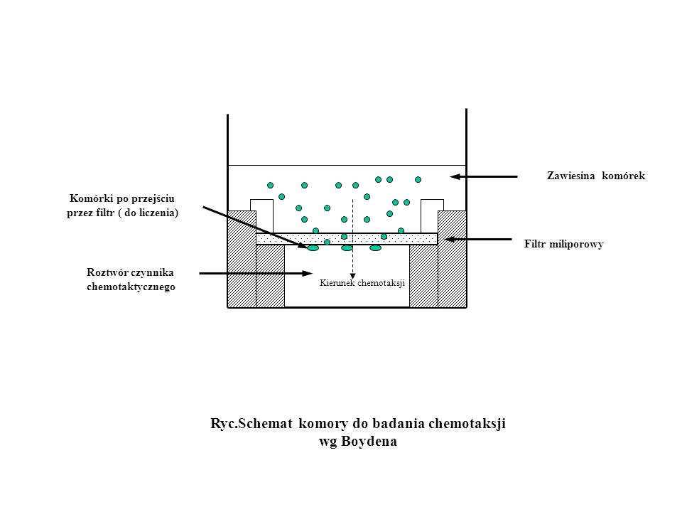 Ryc.Schemat komory do badania chemotaksji wg Boydena