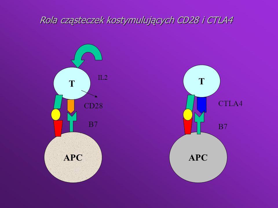 Rola cząsteczek kostymulujących CD28 i CTLA4