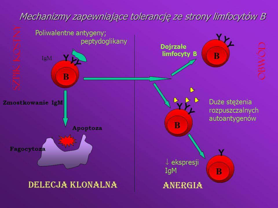 Mechanizmy zapewniające tolerancję ze strony limfocytów B