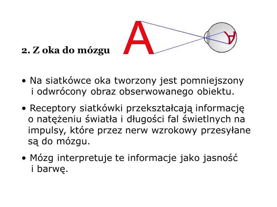 2. Z oka do mózgu Na siatkówce oka tworzony jest pomniejszony i odwrócony obraz obserwowanego obiektu.