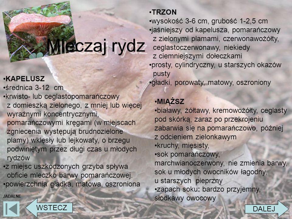 Mleczaj rydz TRZON wysokość 3-6 cm, grubość 1-2,5 cm