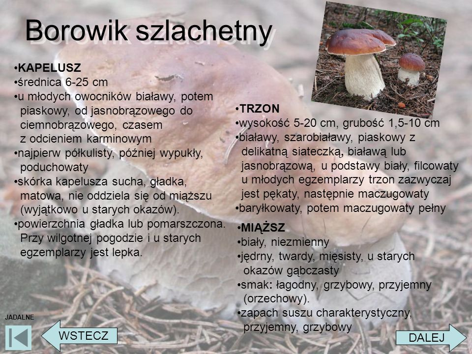 Borowik szlachetny KAPELUSZ średnica 6-25 cm
