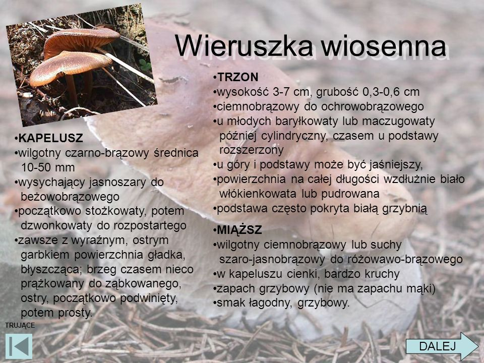 Wieruszka wiosenna TRZON wysokość 3-7 cm, grubość 0,3-0,6 cm
