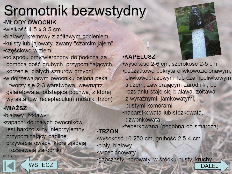 Sromotnik bezwstydny MŁODY OWOCNIK wielkość 4-5 x 3-5 cm