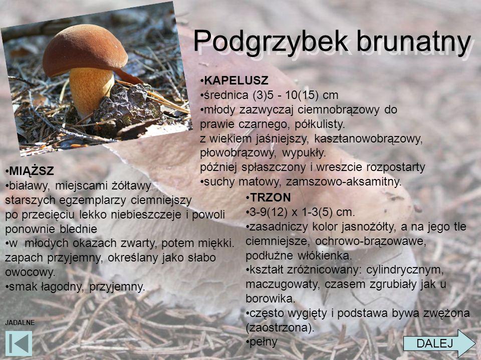 Podgrzybek brunatny KAPELUSZ średnica (3)5 - 10(15) cm