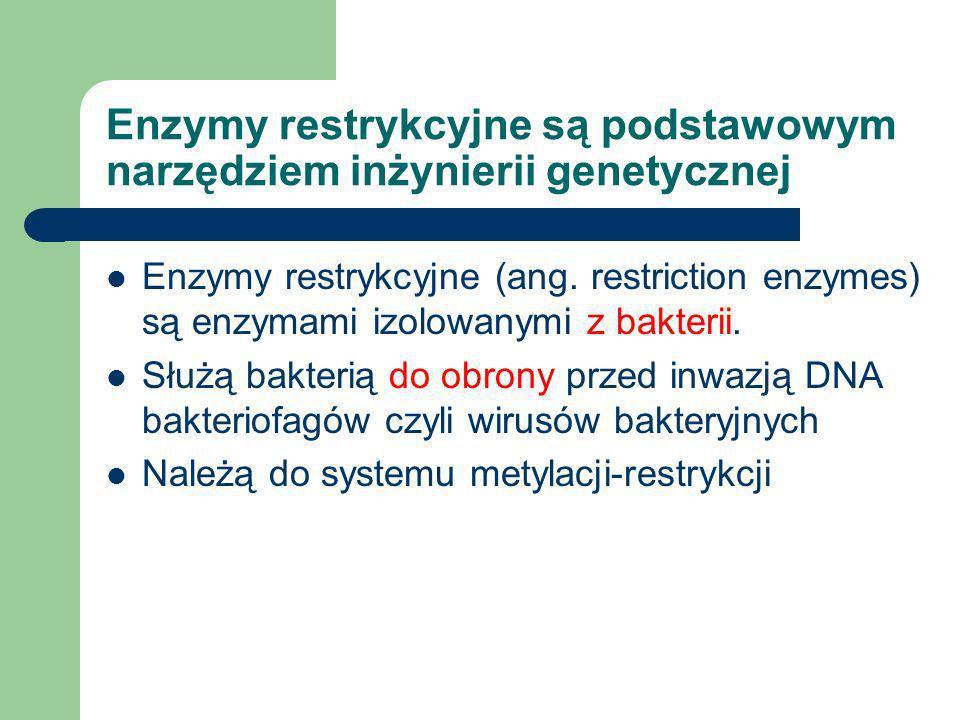 Enzymy restrykcyjne są podstawowym narzędziem inżynierii genetycznej