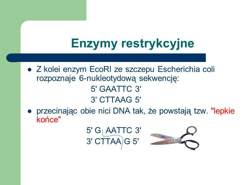 Enzymy restrykcyjne Z kolei enzym EcoRI ze szczepu Escherichia coli rozpoznaje 6-nukleotydową sekwencję: