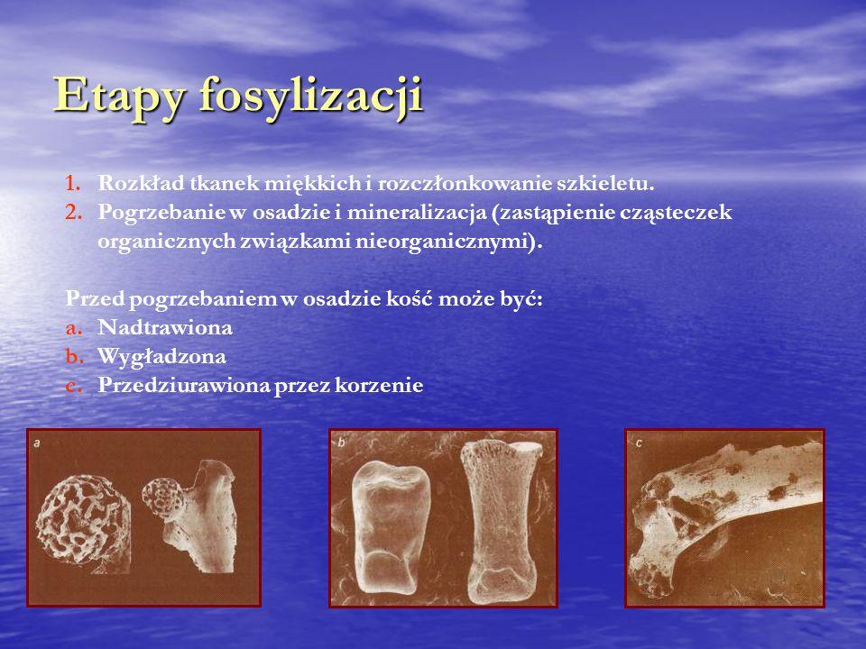 Etapy fosylizacji Rozkład tkanek miękkich i rozczłonkowanie szkieletu.