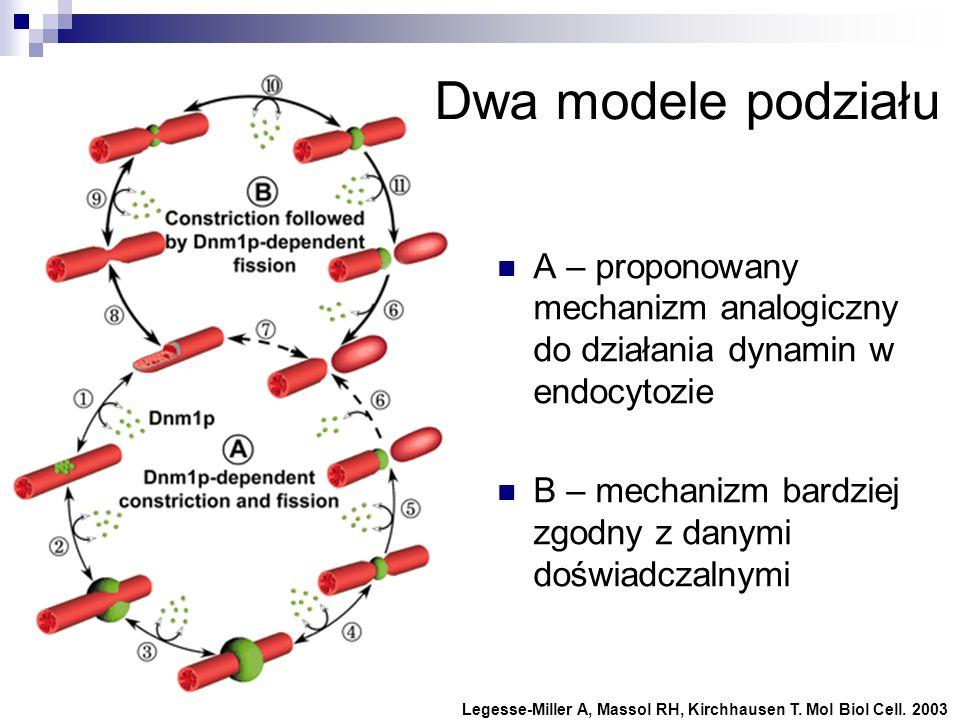 Dwa modele podziałuA – proponowany mechanizm analogiczny do działania dynamin w endocytozie. B – mechanizm bardziej zgodny z danymi doświadczalnymi.