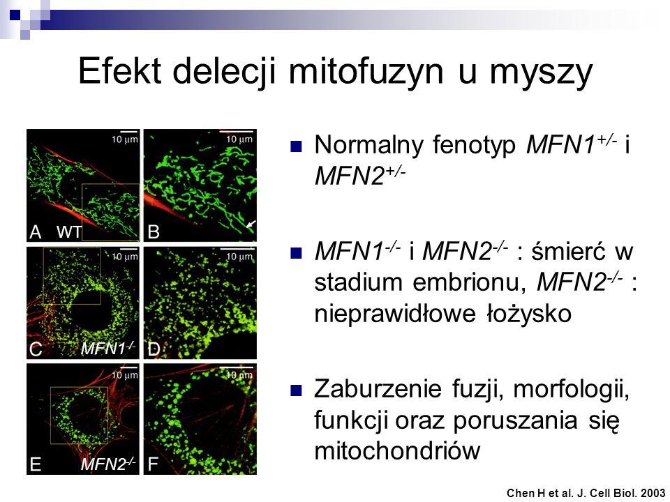 Efekt delecji mitofuzyn u myszy
