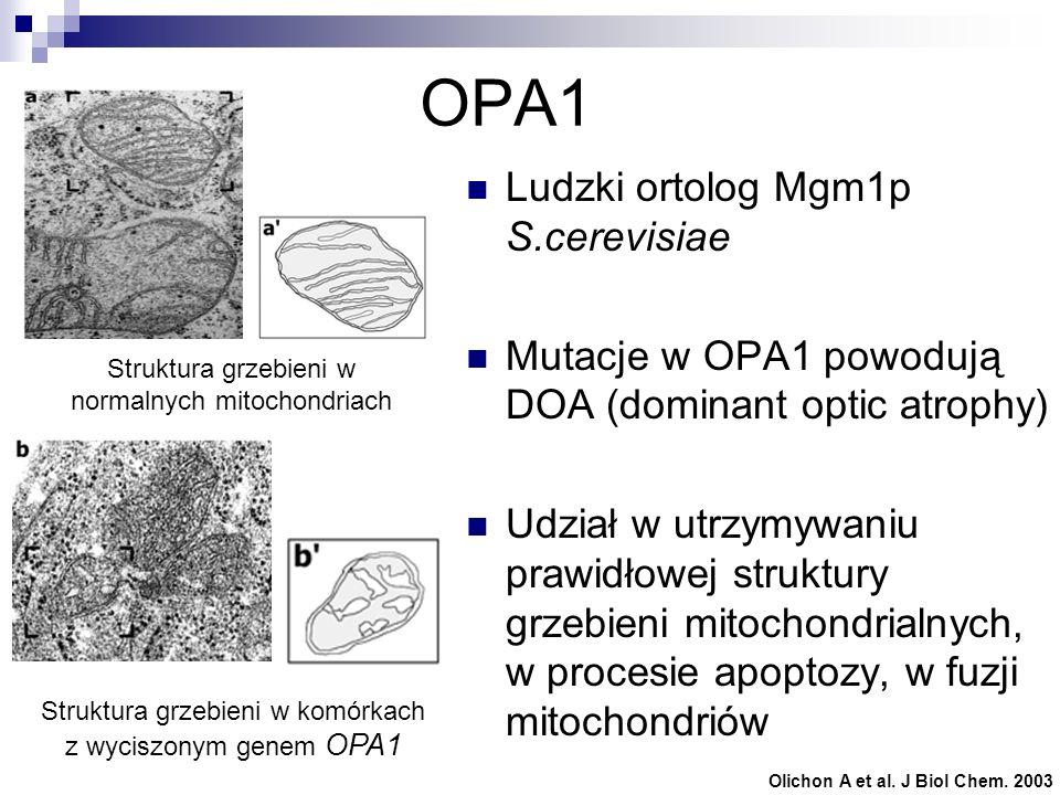 OPA1 Ludzki ortolog Mgm1p S.cerevisiae