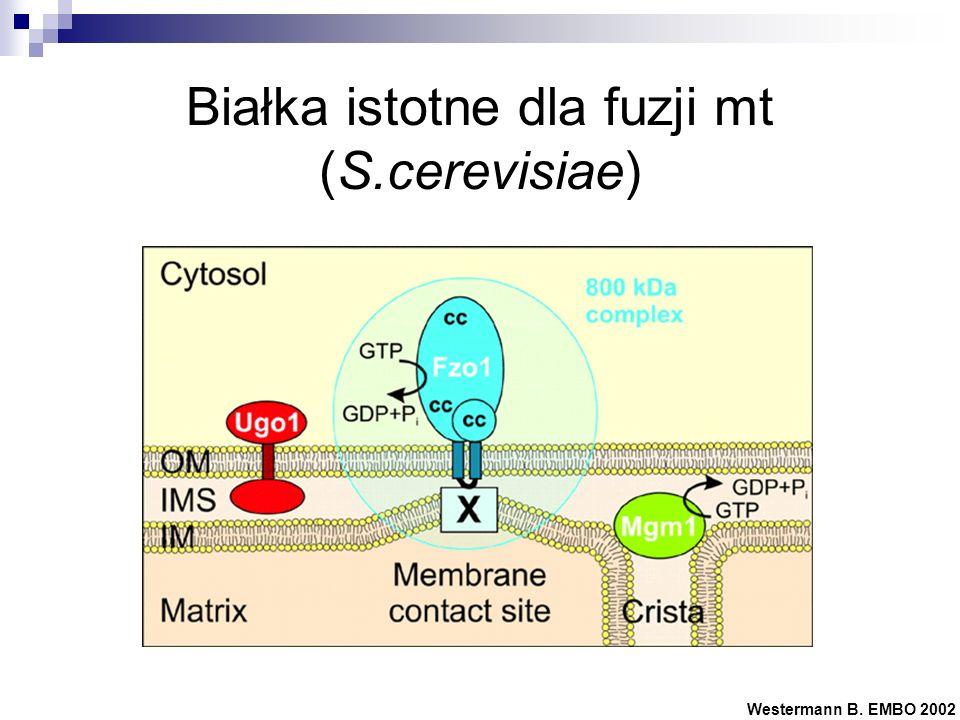 Białka istotne dla fuzji mt (S.cerevisiae)