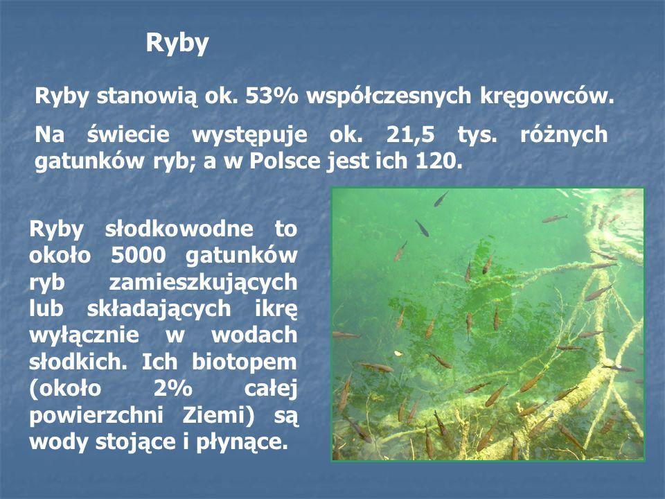 Ryby Ryby stanowią ok. 53% współczesnych kręgowców.