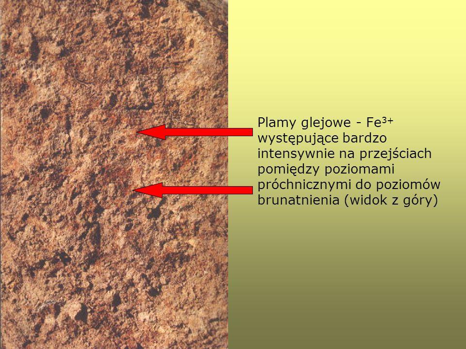 Plamy glejowe - Fe3+ występujące bardzo intensywnie na przejściach pomiędzy poziomami próchnicznymi do poziomów brunatnienia (widok z góry)