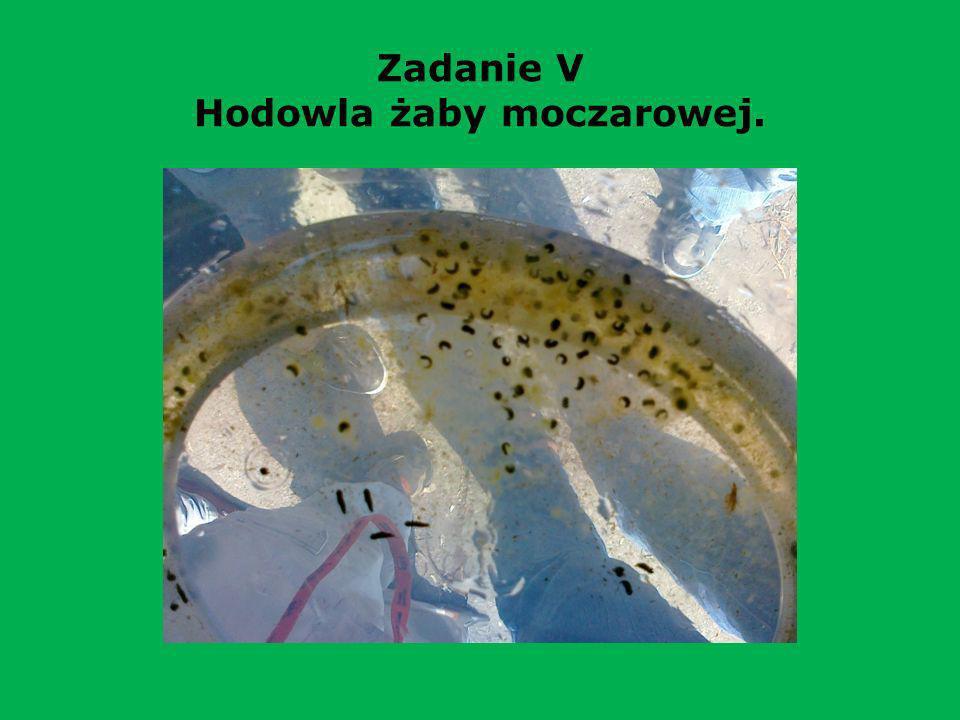 Zadanie V Hodowla żaby moczarowej.