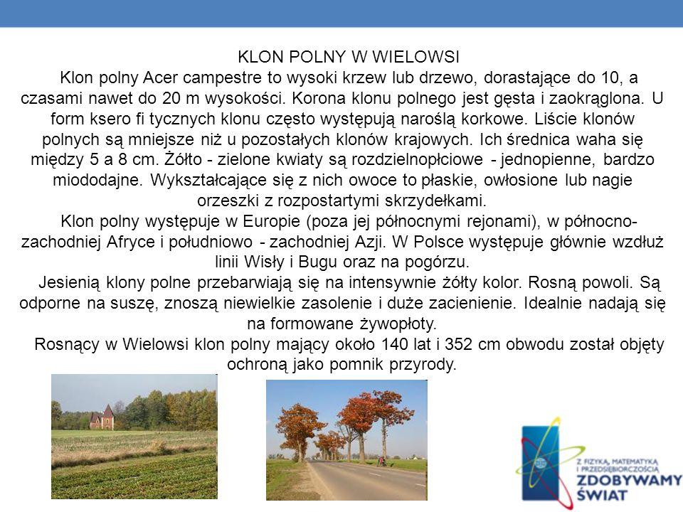 KLON POLNY W WIELOWSI