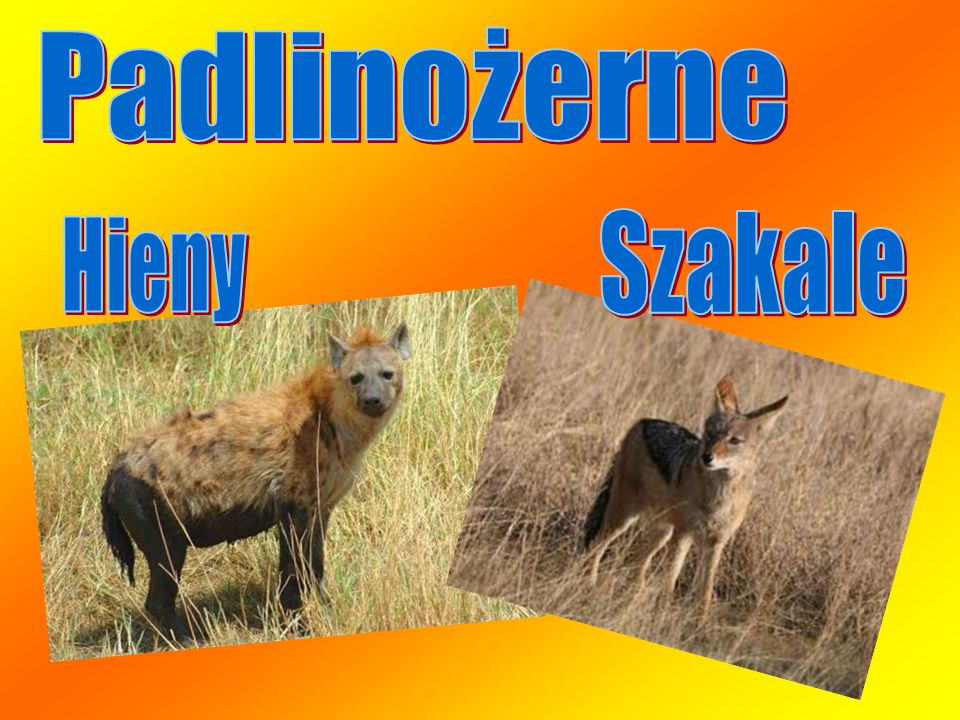 Padlinożerne Szakale Hieny