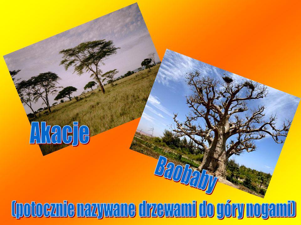 (potocznie nazywane drzewami do góry nogami)