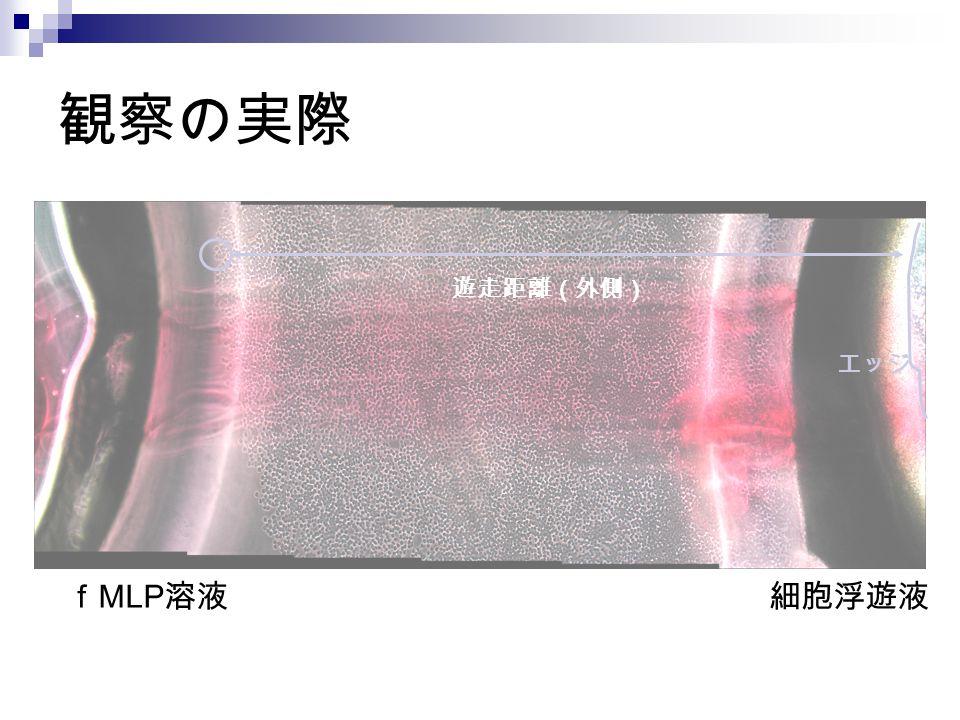 観察の実際 遊走距離(外側) エッジ fMLP溶液 細胞浮遊液