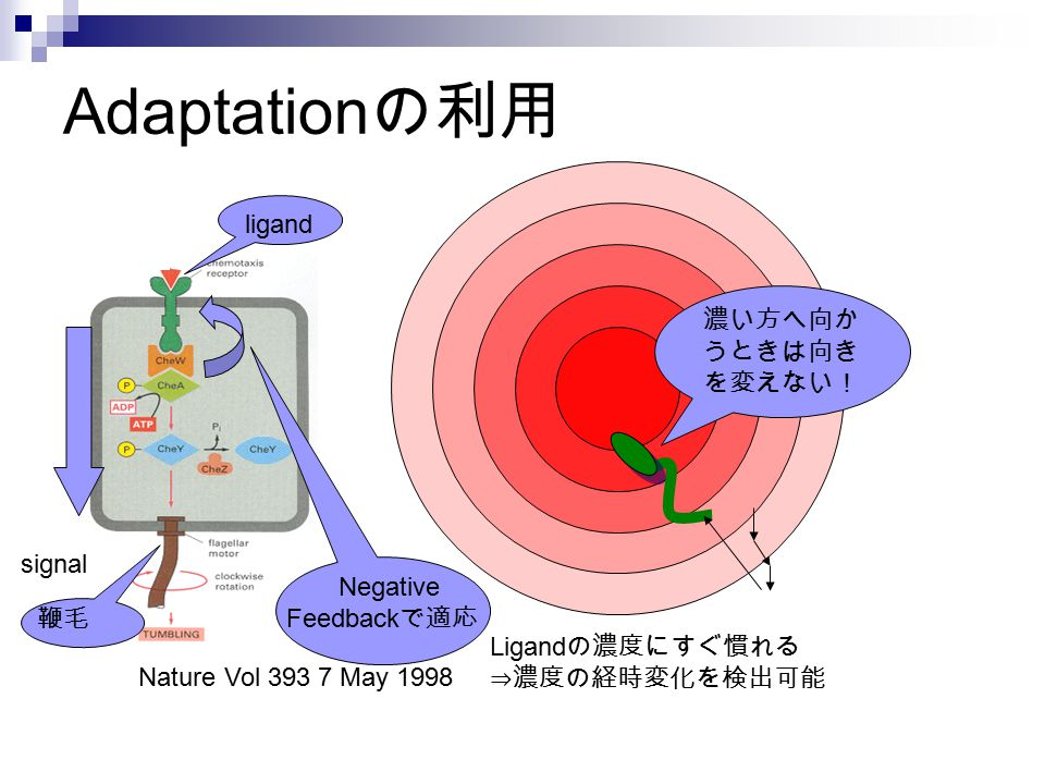 Adaptationの利用 ligand 濃い方へ向かうときは向きを変えない! signal Negative Feedbackで適応 鞭毛