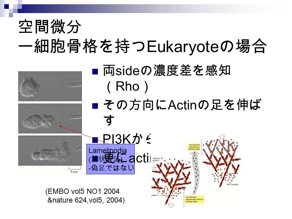 空間微分 ー細胞骨格を持つEukaryoteの場合