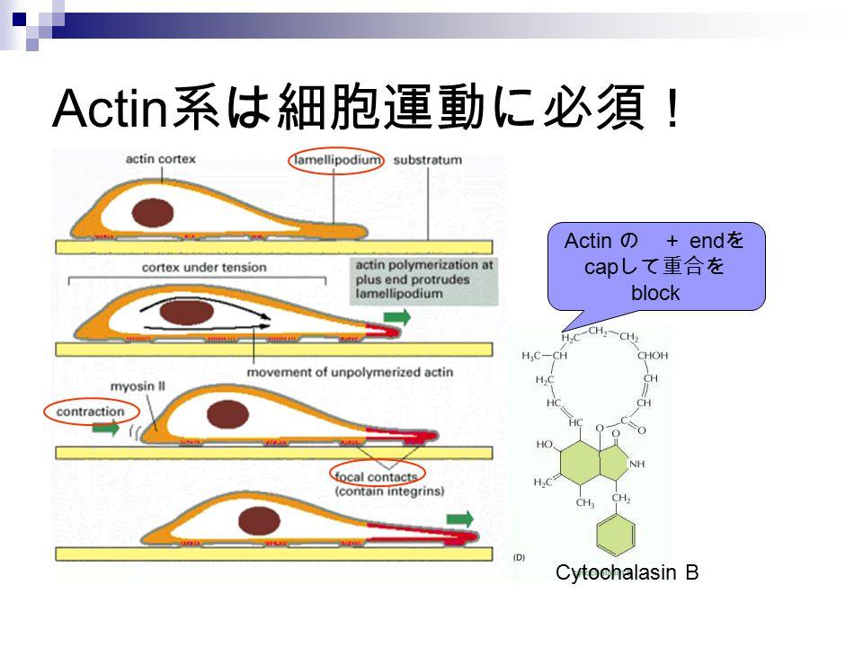 Actin の + endをcapして重合をblock