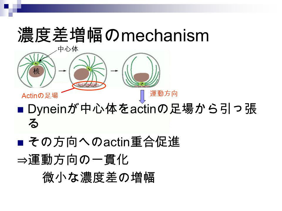 濃度差増幅のmechanism Dyneinが中心体をactinの足場から引っ張る その方向へのactin重合促進 ⇒運動方向の一貫化