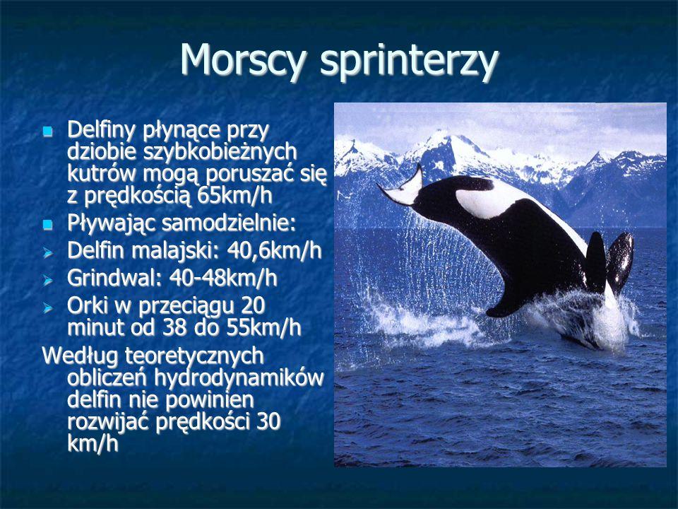 Morscy sprinterzy Delfiny płynące przy dziobie szybkobieżnych kutrów mogą poruszać się z prędkością 65km/h.
