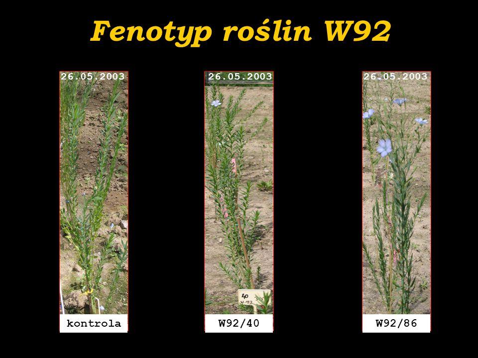 Fenotyp roślin W92 kontrola W92/40 W92/86 26.05.2003 26.05.2003