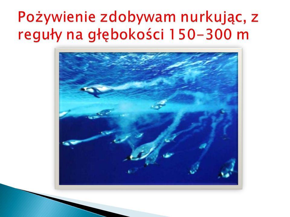 Pożywienie zdobywam nurkując, z reguły na głębokości 150-300 m